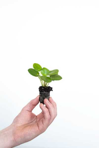 Pilea Peperomioides and other cute plants for sale